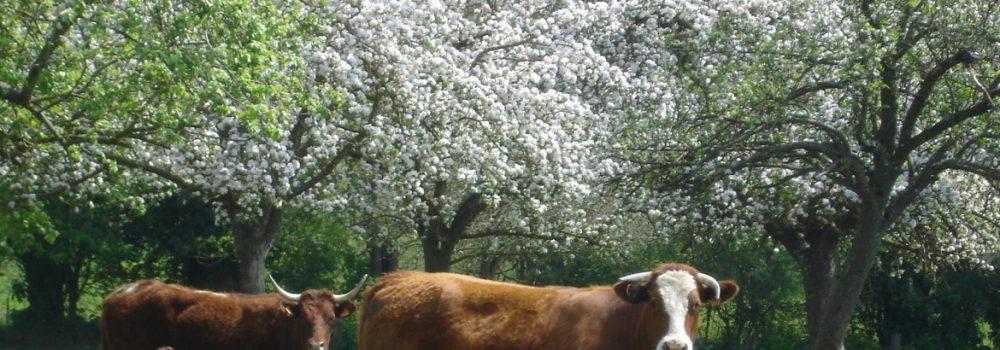 Vaches sous les Pommiers