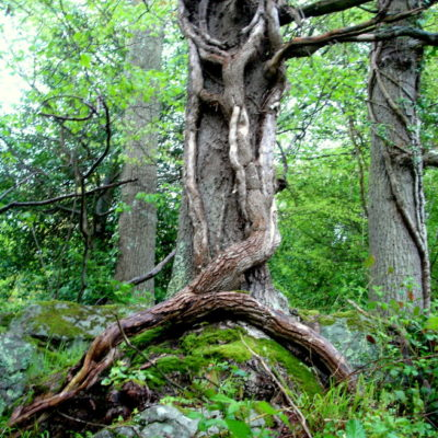 We saw this fabulous twisted tree standing like an Old Man of the Woods